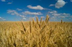 жизнь котенка коровы страны кота пшеница лета поля дня горячая Украина стоковая фотография