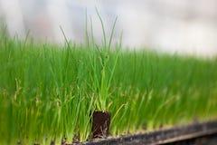Жизнь молодого завода новая, зеленый саженец CSR дня мировой окружающей среды экологичности деревца идет зеленое здравоохранение  Стоковые Изображения