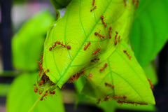 Жизнь муравья, красные муравьи гнездясь на дереве Стоковые Изображения