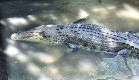 Жизнь на крокодилах фермы Остров Palawan Стоковые Фотографии RF