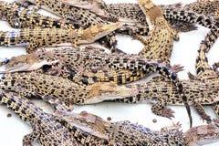 Жизнь на крокодилах фермы Остров Palawan Стоковое Изображение RF
