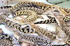 Жизнь на крокодилах фермы Остров Palawan Стоковое Изображение