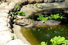 Жизнь на крокодилах фермы Остров Palawan Стоковое фото RF