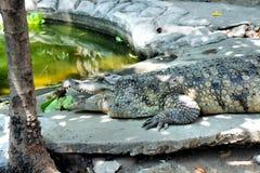 Жизнь на крокодилах фермы Остров Palawan Стоковые Фото