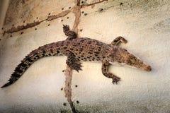 Жизнь на крокодилах фермы philippines Стоковая Фотография