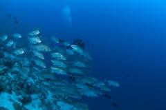 Жизнь ныряя Папуаая-Нов Гвинея Тихий Океан Ocea коралла Стоковое Фото