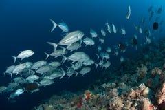 Жизнь ныряя Судан Судан коралла Стоковое фото RF