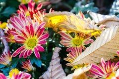 жизнь осени все еще цветет красный желтый цвет Хризантема Кленовые листы на верхней части marguerite стоковые фотографии rf