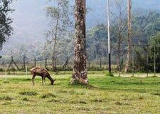 Жизнь оленей Стоковое Изображение RF