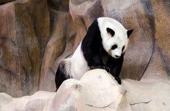Жизнь панды Стоковое Фото