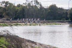 Жизнь пеликана Стоковые Фото