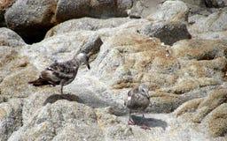 Жизнь птицы на зоне залива Монтеррея Стоковые Изображения
