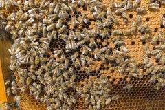Жизнь пчел Пчелы работника Пчелы приносят мед Стоковая Фотография RF