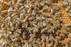 Жизнь пчел Пчелы работника Пчелы приносят мед Стоковое Изображение
