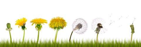 жизнь травы одуванчиков Стоковые Изображения