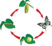 жизнь цикла бабочки Стоковая Фотография RF