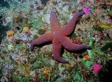 жизнь kuril островов подводная Стоковое Изображение
