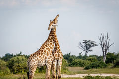 2 жирафа воюя в Chobe Стоковое Изображение RF