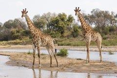 2 жирафа встают на сторону - мимо - сторона Стоковое Изображение RF