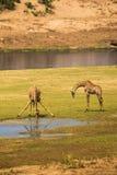 2 жирафа выпивая на русле реки, Южной Африке Стоковое Изображение