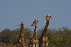3 жирафа выровнялись вверх в порядке высоты, Kruger, Южной Африки Стоковое Изображение RF