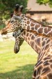 2 жирафа в влюбленности Стоковое фото RF