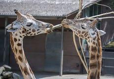 2 жирафа в зоопарке с суком Стоковое Изображение