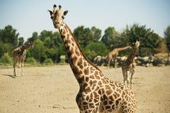 4 жирафа в зоопарке Стоковая Фотография
