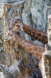 2 жирафа в зоопарке Стоковая Фотография