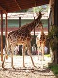 2 жирафа в зоопарке Стоковое Изображение RF