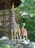 2 жирафа в зоопарке Стоковые Фото