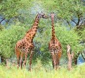 2 жирафа в национальном парке, Танзании Стоковое фото RF
