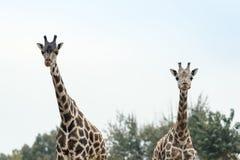 2 жирафа в национальном парке Стоковое Изображение