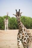 2 жирафа в национальном парке Стоковое Фото