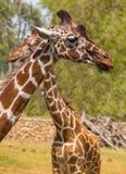 2 жирафа в природе Стоковое Изображение RF