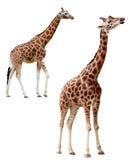 2 жирафа в различных положениях изолированного с Стоковые Фото
