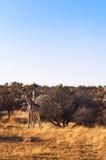 2 жирафа в саванне, в Намибии Стоковые Фото