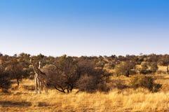 2 жирафа в саванне, в Намибии Стоковое Изображение