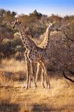 2 жирафа в саванне, в Намибии Стоковые Изображения RF