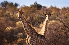 2 жирафа в саванне, в Намибии Стоковые Фотографии RF