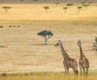 2 жирафа в саванне Кения Танзания 5 2009 в марше maasai танцульки Африки ратников села Танзании восточном выполняя Стоковое фото RF