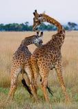 2 жирафа в саванне Кения Танзания 5 2009 в марше maasai танцульки Африки ратников села Танзании восточном выполняя Стоковые Изображения RF