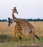 2 жирафа в саванне Кения Танзания 5 2009 в марше maasai танцульки Африки ратников села Танзании восточном выполняя Стоковая Фотография