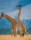 2 жирафа в саванне Кения Танзания 5 2009 в марше maasai танцульки Африки ратников села Танзании восточном выполняя Стоковое Фото