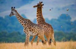 2 жирафа в саванне Кения Танзания 5 2009 в марше maasai танцульки Африки ратников села Танзании восточном выполняя Стоковые Фото