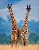 2 жирафа в саванне Кения Танзания 5 2009 в марше maasai танцульки Африки ратников села Танзании восточном выполняя Стоковые Изображения