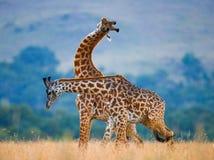 2 жирафа в саванне Кения Танзания 5 2009 в марше maasai танцульки Африки ратников села Танзании восточном выполняя Стоковые Фотографии RF