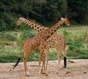 2 жирафа в саванне Кения Танзания 5 2009 в марше maasai танцульки Африки ратников села Танзании восточном выполняя Стоковая Фотография RF