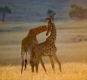 2 жирафа в саванне Кения Танзания 5 2009 в марше maasai танцульки Африки ратников села Танзании восточном выполняя Стоковое Изображение RF