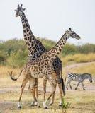 2 жирафа в саванне с зебрами Кения Танзания 5 2009 в марше maasai танцульки Африки ратников села Танзании восточном выполняя Стоковое Изображение